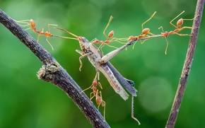 Обои макро, насекомые, муравьи, нападение, кузнечик, охота, добыча