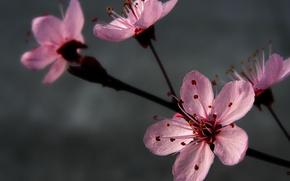 Картинка цветы, серый, розовый