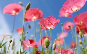 Обои маки, небо, розовый