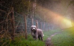 Картинка туман, собака, утро