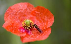 Картинка цветок, мак, лепестки, насекомое