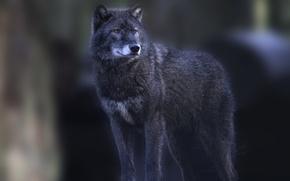 Картинка серый, волк, стоит, смотрит