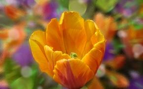 Обои макро, краски, стекло, цветок, цвет, лепестки, оранжевый, тюльпан