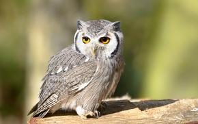 Картинка взгляд, птица, Сова, bird, look, owl