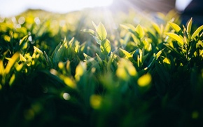 Картинка green, grass, sunshine, sunset, leaves, macro, sunlight, Leaves