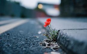 Картинка цветок, город, улица, мак
