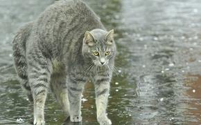 Картинка кошка, лужи, улица, спина, дугой, дождь, кот