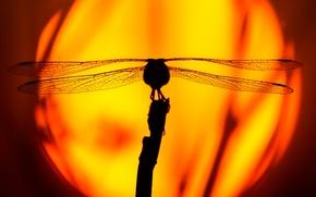 Картинка солнце, закат, стрекоза, силуэт, насекомое