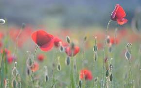 Картинка цветы, поляна, мак, маки, бутоны, нежно, обои от lolita777