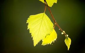 Картинка зелень, листья, макро, свет, береза