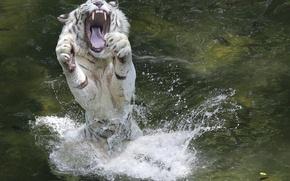 Картинка вода, брызги, животное, лапы, пасть, белый тигр