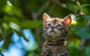 Картинка взгляд, мордочка, котёнок, боке