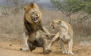 Обои lioness, attack, lion, fight