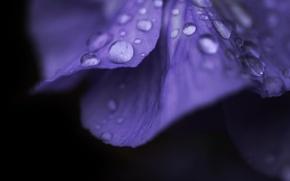 Картинка цветок, фиолетовый, вода, капли, макро, цветы, роса, фон, розовый, widescreen, обои, капля, лепестки, wallpaper, flower, …