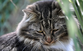 Картинка кошка, усы, фон, шерсть