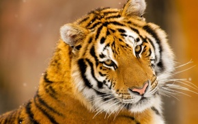 Картинка усы, снег, тигр