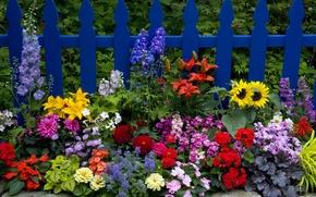Картинка забор, лилии, подсолнух, циния, георгины