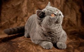 Картинка кошка, кот, котэ, британец, британская короткошерстная