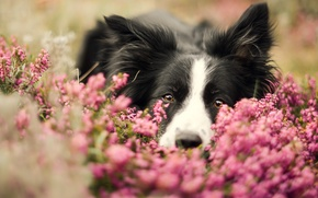 Картинка морда, цветы, портрет, собака, бордер-колли, обои от lolita777