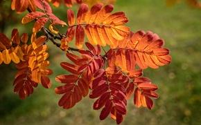Обои осень, листья, ветка, багрянец