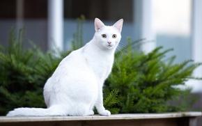 Картинка кошка, усы, взгляд, морда, фон, белая