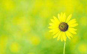 Картинка цветок, цветы, желтый, ромашка, зеленый фон
