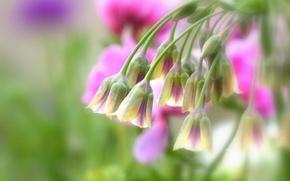 Картинка макро, цветки, боке, Нектароскордум