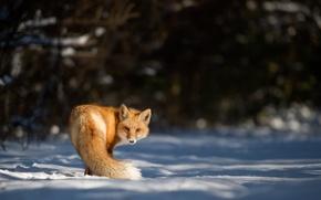 Картинка looking, snow, fox, winter, wildlife
