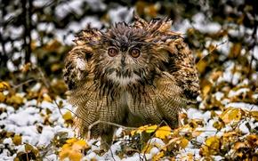 Картинка природа, птица, owl