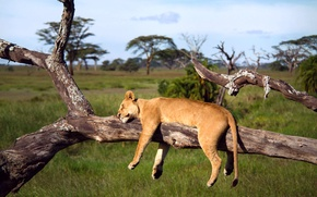 Картинка дерево, лев, спит, Африка, львица, Танзания, Серенгети
