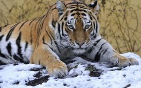 Картинка взгляд, снег, тигр