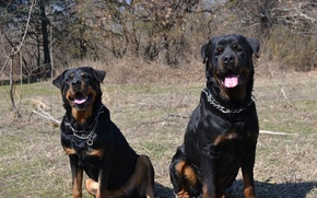 Картинка Dogs, Animals, Rottweiler
