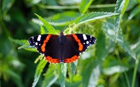 Картинка лето, бабочка, адмирал, крапива