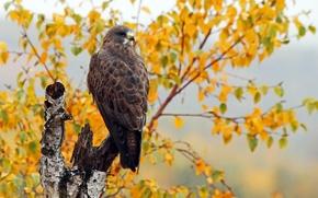 Обои осень, птица, Swainson's Hawk