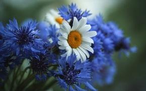 Обои цветы,  васильки,  ромашки,  полевые