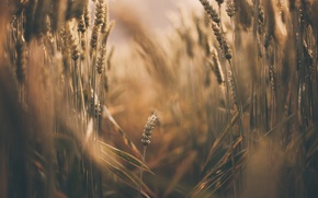 Картинка лето, природа, колосья