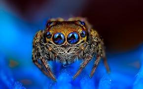 Картинка паук, глазастый, голубой фон, прыгун, джампер