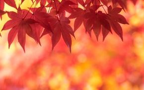 Картинка осень, листья, клен, багряный