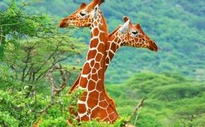 Картинка жирафы, саванна, Африка