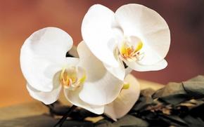 Картинка цветок, ветка, орхидея