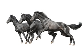 Картинка кони, лошади, белый фон