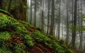 Картинка лес, трава, деревья, природа, дерево, мох