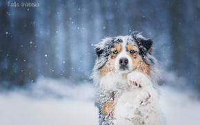 Картинка снег, собака, австралийская овчарка