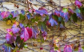 Картинка осень, листья, стена, цвет, стебель, плющ
