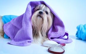 Картинка полотенце, мордочка, йорк, Dogs, терьер, расческа