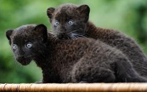 Обои wallpaper, пантера, кошки, маленькие, котята, обои, звери