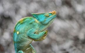 Обои ящерица, Хамелеон парсона, зеленый, фон