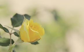 Картинка цветок, листья, макро, фон, роза, цвет, размытость, бутон, желтая