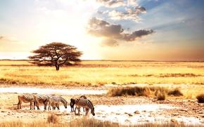 Картинка животные, солнце, пейзаж, саванна, Африка, зебры, Afric animality, zebras