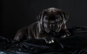 Картинка черный, щенок, красавец, кане-корсо